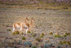 Par av vikunjaullar i Chile Royaltyfri Foto