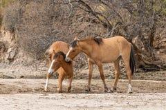 Par av vildhästar som slåss i den Arizona öknen Royaltyfri Fotografi