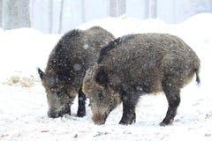 Par av vildsvin på vintern Fotografering för Bildbyråer