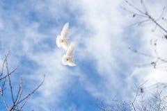 Par av vita duvor på blå himmel Royaltyfri Foto