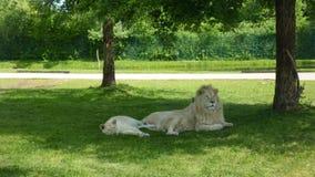 Par av vita lejon som vilar i trädskugga arkivbilder