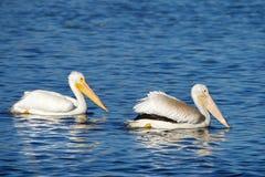 Par av vita pelikan som simmar i en sjö royaltyfria bilder