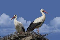 Par av vita storkar som står i deras rede Arkivfoton