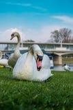 Par av vita svanar är äta och avslappnande Royaltyfri Bild