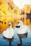 Par av vita svanar på sjön royaltyfri foto