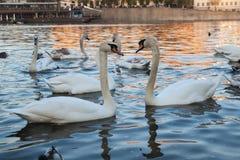 Par av vita svanar p? solnedg?ngen royaltyfria bilder