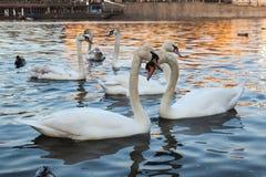 Par av vita svanar p? solnedg?ngen royaltyfri foto