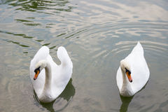 Par av vita svanar som simmar i ett damm arkivfoto