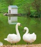 Par av vita swans Fotografering för Bildbyråer
