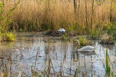 Par av vitt bygga bo för svanar Fotografering för Bildbyråer