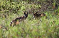 Par av Wild prärievargar Arkivbilder