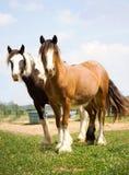 Par av zigenareVanner hästar Royaltyfria Bilder