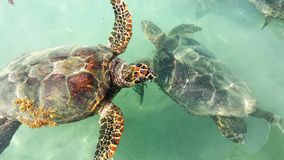 Par för havssköldpadda Arkivfoto