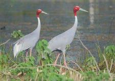 Par för Sarus kranfågel som går på kanten av dammet arkivfoto