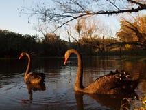Par för svart svan på en sjö i aftonsolen Royaltyfria Bilder