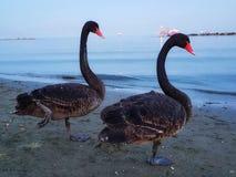 Par för svarta svanar i Cypern fotografering för bildbyråer