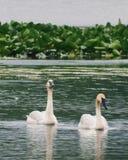 Par för trumpetaresvan i sjö II royaltyfria bilder