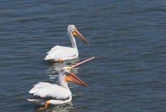 Par för vit pelikan Royaltyfria Bilder