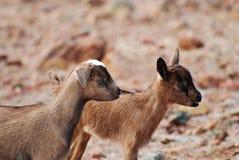 Par monísimo de cabras salvajes del bebé en Aruba Fotos de archivo
