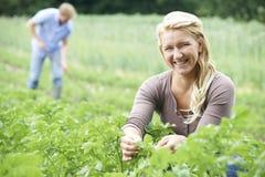 Par som arbetar i fält på organisk lantgård Fotografering för Bildbyråer