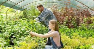 Par som planterar gräsplan i drivhus arkivfilmer