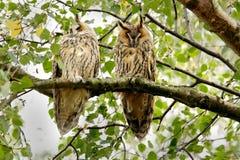 par sowy słyszące długie Obrazy Stock