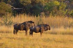 par wildebeast arkivfoto