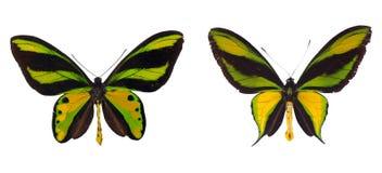 Paraíso Birdwing Swallowtail Imagens de Stock