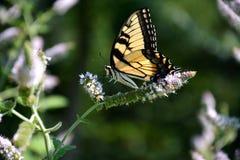 Paraíso da borboleta Imagem de Stock