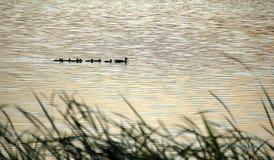 Paraíso del pato salvaje Foto de archivo libre de regalías