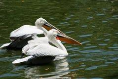 Paraíso do pelicano Fotografia de Stock