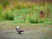 Paraíso fêmea Shelduck Putangitangi em Travis Wetland Nature Heritage Park em Nova Zelândia foto de stock royalty free