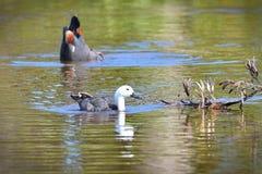 Paraíso Shelducks Putangitangi em Travis Wetland Nature Heritage Park em Nova Zelândia fotografia de stock