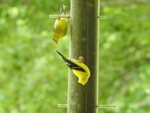 Para Żółci Finches przy dozownikiem Fotografia Stock