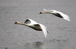 Para łabędź latać Fotografia Stock
