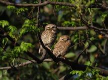 Para łaciasty owlet odpoczynek na gałąź obrazy royalty free