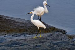 Para Śnieżny Egret zdjęcia royalty free