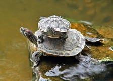 para żółw Obrazy Royalty Free