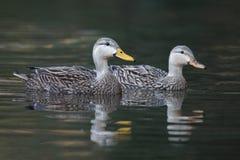 Para Żyłkowane kaczki pływa na rzece - Floryda zdjęcia royalty free
