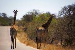 Para żyrafy chodzi w Kruger parku narodowym w południe Fotografia Royalty Free