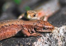 Para żyworodny jaszczurki lub błonie jaszczurki Zootoca vivipara Obrazy Royalty Free