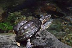 Para Afrykańscy Borowinowi żółwie Zdjęcie Royalty Free