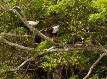 para afrykańscy orły rybi o Zdjęcia Royalty Free