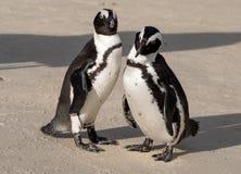 Para Afrykańscy pingwiny na piasku przy głazami Wyrzucać na brzeg w Kapsztad, Południowa Afryka zdjęcia stock