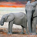 Para Afrykańscy słonie stoi szczęśliwie na banku Luangwa rzeka, zambiowie, afryka poludniowa Obrazy Royalty Free