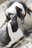Para Afrykańscy penguines Obraz Royalty Free