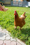 Para alimentar el pollo con las manos fotografía de archivo