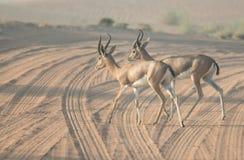 Para arabskie gazele krzyżuje pustynną drogę podczas wczesny poranek godzin Dubaj, UAE Obraz Stock