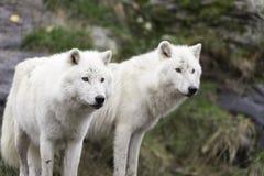 Para Arktyczni wilki w spadku, lasowy środowisko Zdjęcie Royalty Free