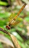 Para arriba-cierre amarillo de la libélula Foto de archivo